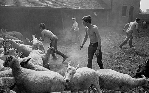 Catching sheep for dipping, Wichenford Worcs  (1969)