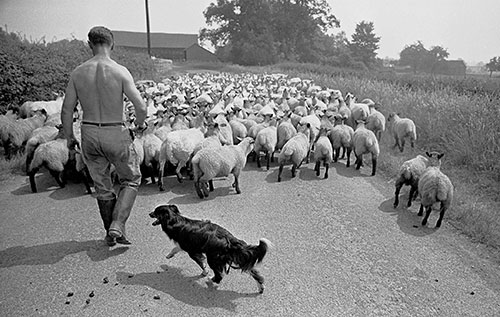 Taking sheep for their annual dip, Wichenford Worcs  (1969)