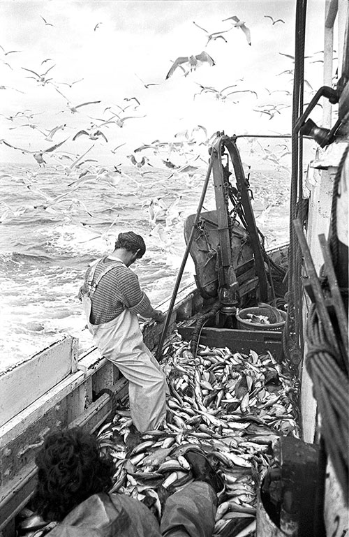 Gutting fish on the journey home, North Sea,  (1979)